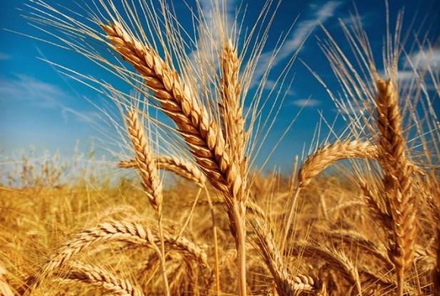 Egiptul a cumpărat 235.000 de tone de grâu din România și Rusia